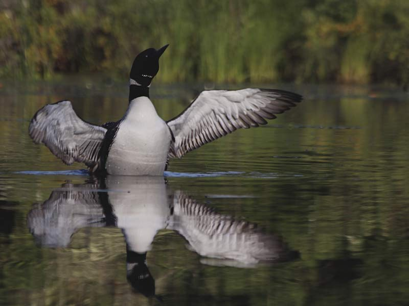 A photo of a loon flapping it's wings is reflected on the mirror-like surface of a lake.